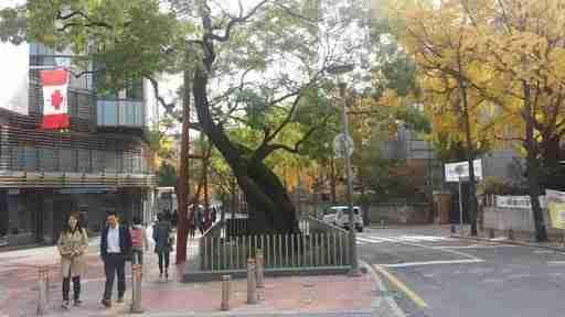 Canadian Embassy Tree